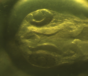 Head of a Zebrafish larva, around 24h