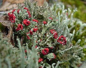 Lichen, Barbara Page, 2007, wikipedia.org