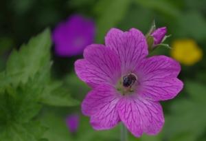 Honey guides on geranium petals © J Bryant