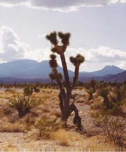 Joshua Tree (Yucca brevifolia) © J Bryant