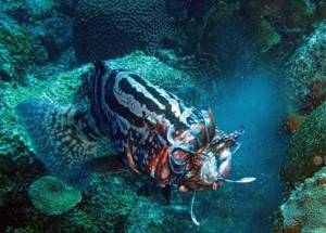 Grouper eats Lionfish