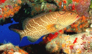 Tiger Grouper-goby