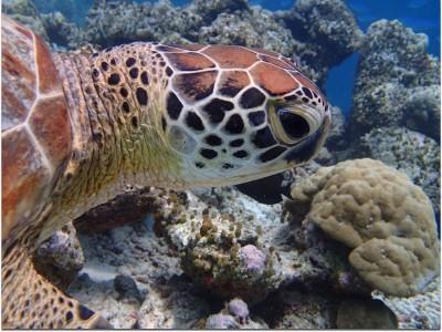 Individual, identifiable  head scale patterns on a turtle © Jordan Parrett