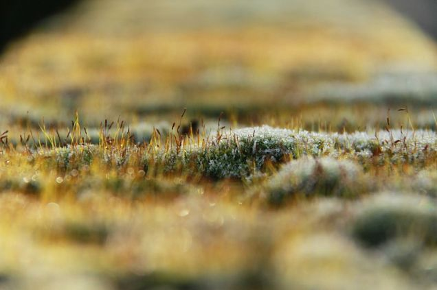 Frost-covered Moss © Cristian Bortes, Creative Commons Attribution-NonCommercial-ShareAlike 2.0 Genericlicense