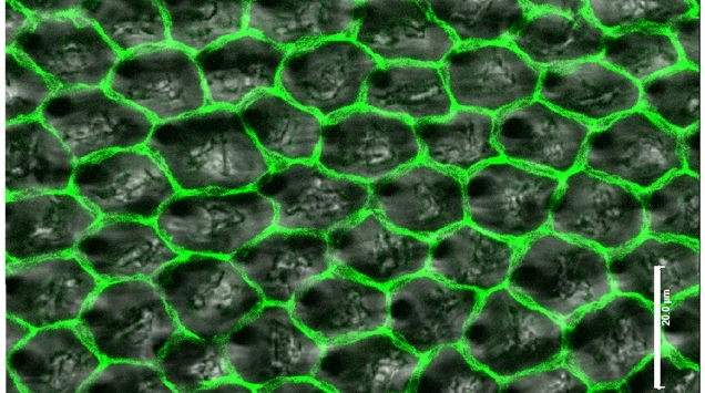The organization of Drosophila wing epithelial cells after wing inflation. Iyengar, Balaji (2012). figshare. License <a