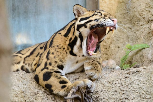 By Eric Kilby from Somerville, MA, USA (Clouded Leopard Mouth Open) [CC BY-SA 2.0], via Wikimedia Commons