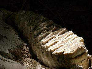 Elephant Tooth / Brevard Zoo, Viera FL By Rusty Clark from merritt island FLA [CC BY 2.0], via Wikimedia Commons