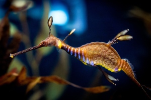 Weedy Seadragon by Chris Smith – Flickr – License: Creative Commons 2.0