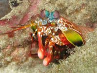 Mantis Shrimp By Silke Baron [CC BY 2.0], via Wikimedia Commons