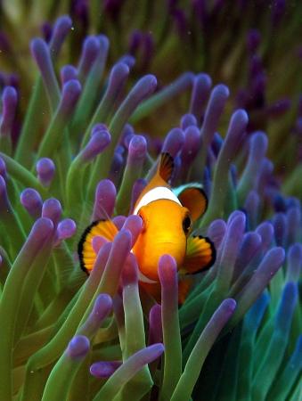 Anemone fish in Sipadan by Pilar. Flickr. (CC BY-NC 2.0)
