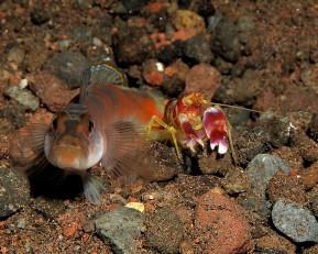 By Steve Childs (Flickr: Gobi and shrimp) [CC BY 2.0], via Wikimedia Commons
