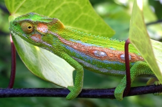 chameleon-garden Ross Dismore freeimages