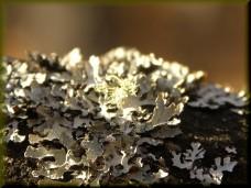 Lichen by Marilylle Soveran. Flickr. (CC BY-NC 2.0)