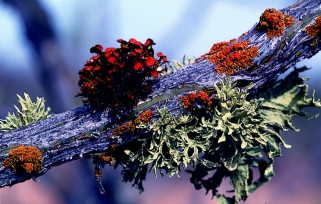 Colourful Lichen Grow on Ocotillo by Microbe World. Flickr. (CC BY-NC-SA 2.0)