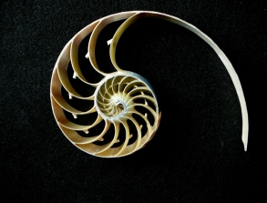 Nautilus Section by Peter Barker. Flickr. (CC BY-NC-ND 2.0)