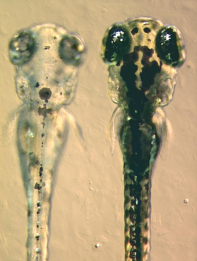 Zebrafish Embryos By Adam Amsterdam, MIT, Boston, Massachusetts, United States. [CC BY 2.5], via Wikimedia Commons