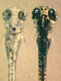 Zebrafish Embryos By Adam Amsterdam, MIT, Boston, Massachusetts, United States. [CC BY 2.5], via Wikimedia Commons
