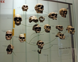 Hall of Human Origins photographed by Peter Roan. Flickr. (CC BY-NC 2.0)