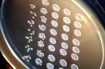 Laboratoorne_pagaripärm_(Saccharomyces_cerevisiae)_agariplaadil.