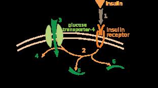 745px-Insulin_glucose_metabolism_ZP.svg