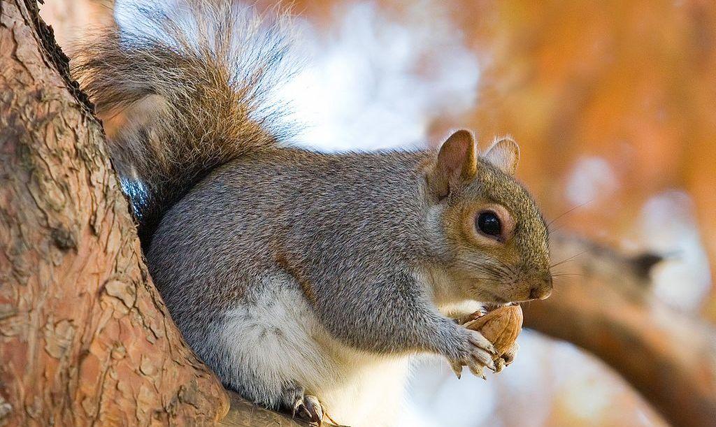 crop-eastern_grey_squirrel_in_st_jamess_park_london_-_nov_2006_edit
