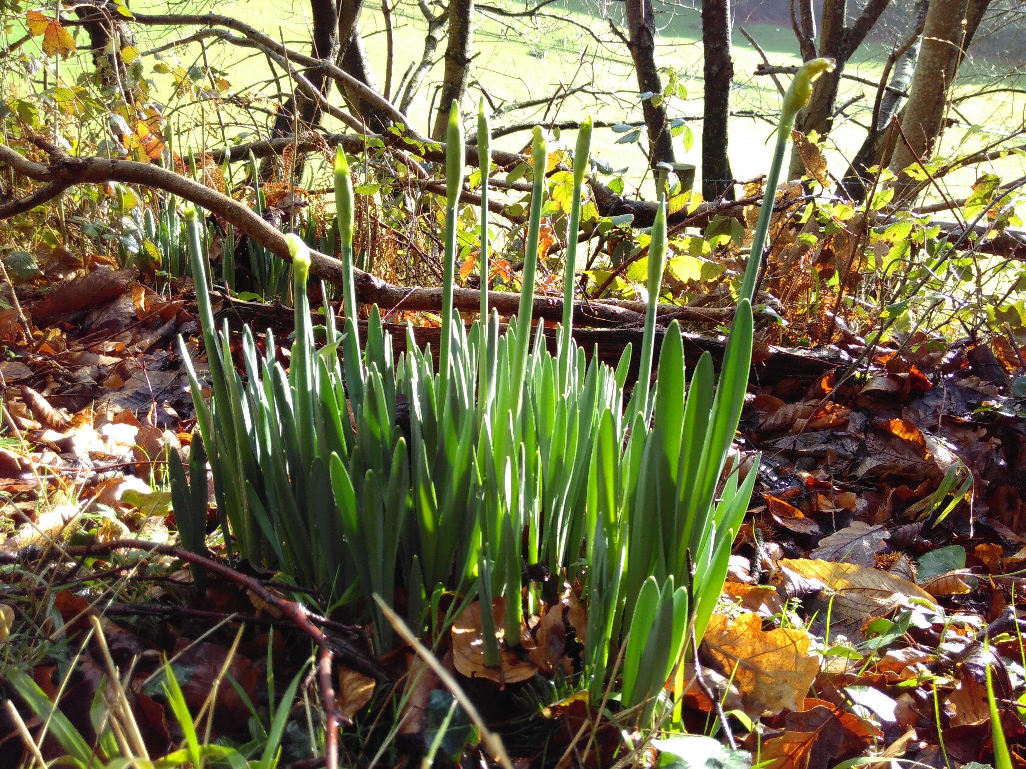 Lee Abbey daffodils