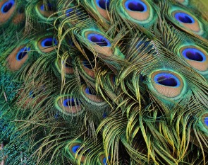 peacock-feathers-1316889_1920