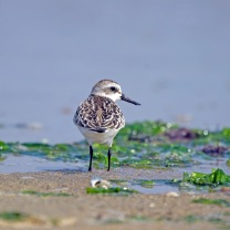 _IGP4181 (Spoon-billed Sandpiper) By Ken. Flickr. (CC BY-NC-ND 2.0)