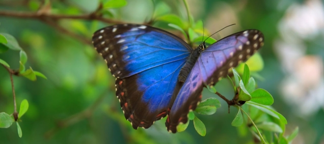 butterly-blue-morpho-vera-kratochvil-ccc0-87-1276689971v1i2.jpg