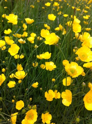 buttercups flowers spring img_2552