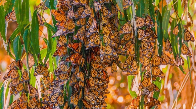 butterflies-monarch-hibernating-9974020146_a16dc52c34_z-flickr-felixs-endless-journey-cc-by-nc-nd-2.0-copy-2.jpg
