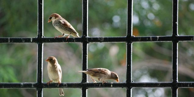 sparrow-806176_1920 Sami M'Rad Pixabay crop