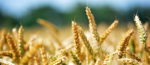 wheat-368867_1280 Istvan Asztalos pixabay copy