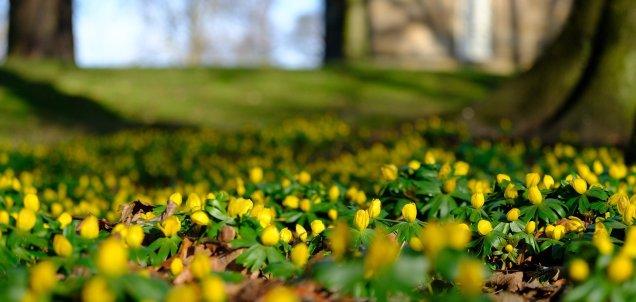 flowers aconites spring winter-3972851_1920 Pixabay Tim Hill copy